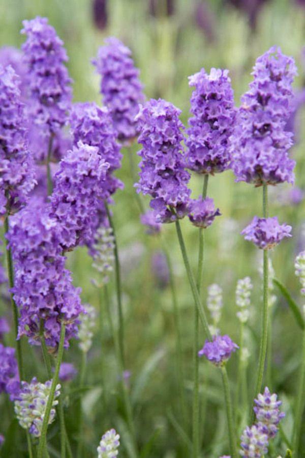 Lavandula Angustifolia Lavenite Petite Lavender Lavender Plant Lavender Plant Care Indoor Lavender Plant