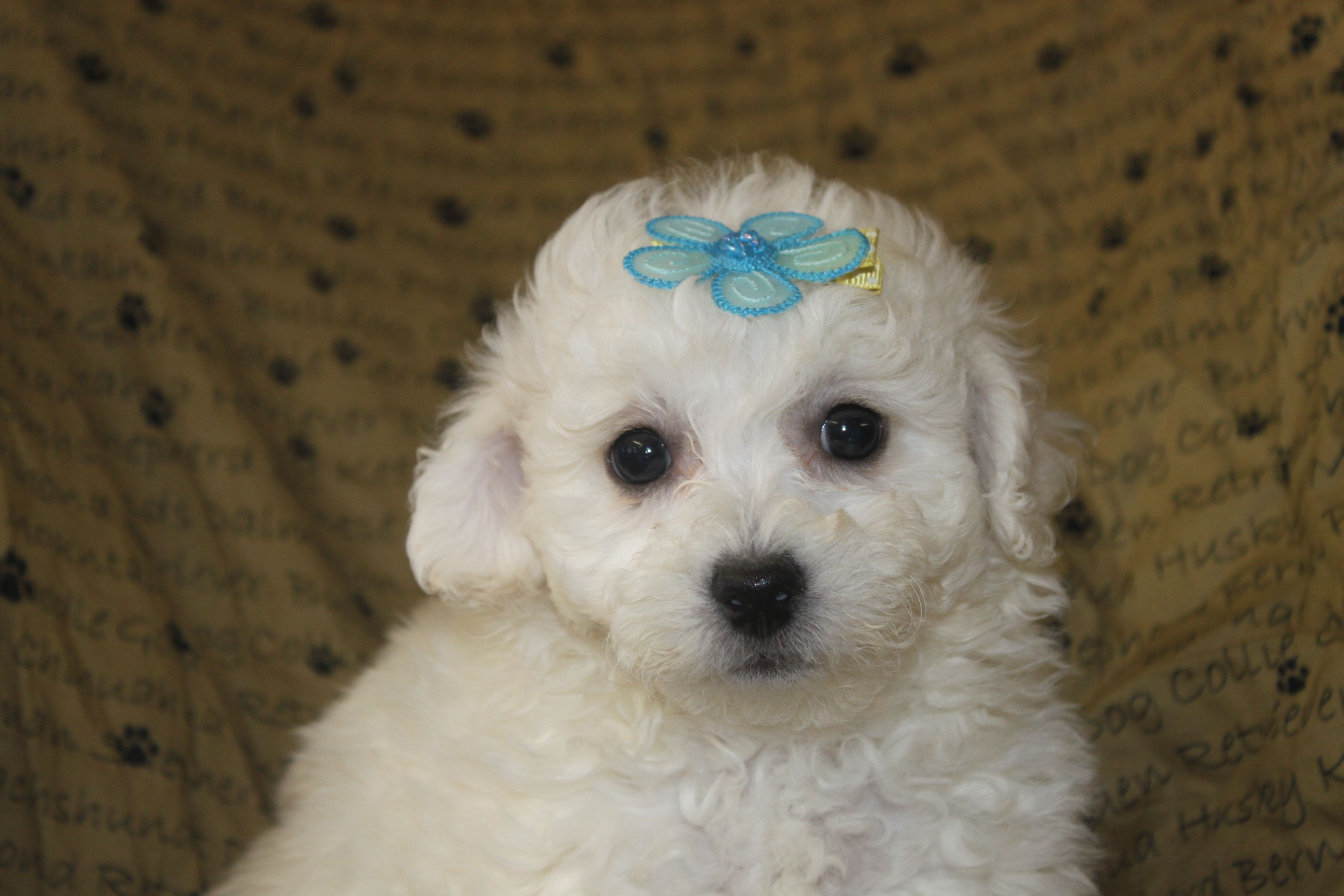 Pin by Network34 com on Bichon Frise Puppies For Sale