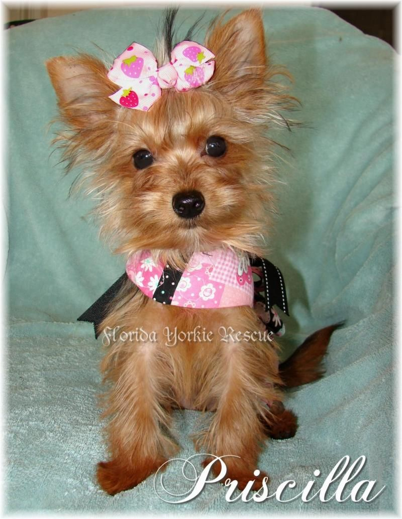 Adopt Priscilla on Yorkie dogs, Yorkie, Yorkshire terrier