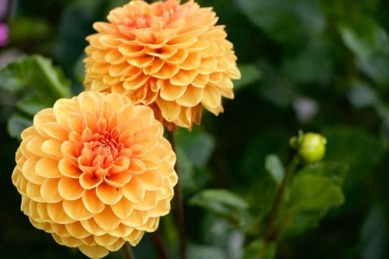 Yellow Orange Dahlia Growing Dahlias Flowers Dahlia Flower