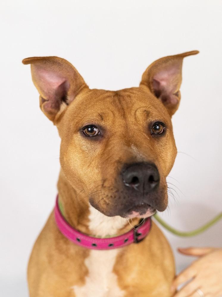 Adopt Olivia on Paws rescue, Labrador retriever mix, Dogs