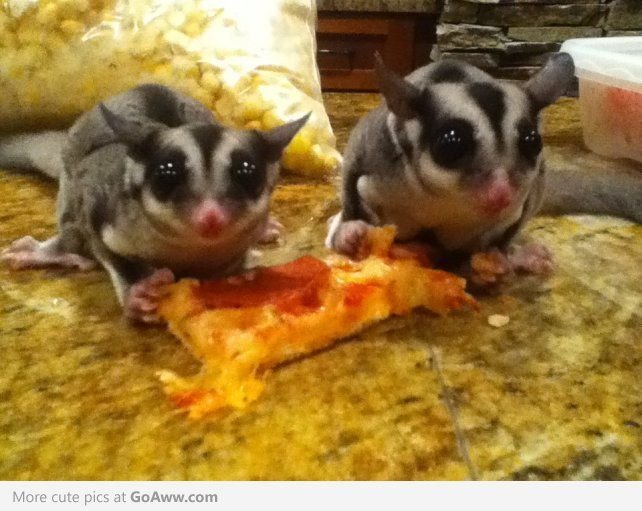 Introducing Sugar Gliders To Pizza Fluffy Animals Cute Animals