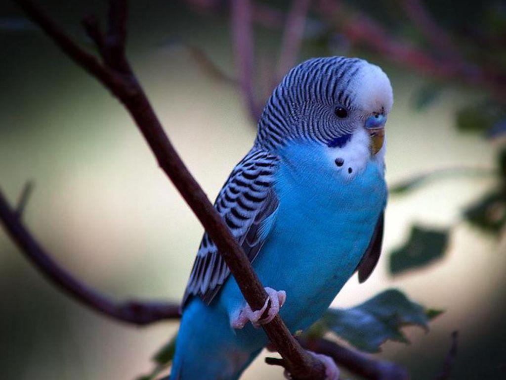 Small Blue Parrot Little Blue Parrot Parakeet, Budgies