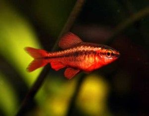 Cherry Barb Fish The Care Feeding And Breeding Of Cherry Barbs Aquarium Fish Tropical Freshwater Fish Tropical Fish