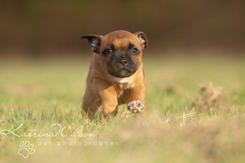 Staffordshire Bull Terrier Puppy Litter Katrina Wilson Dog