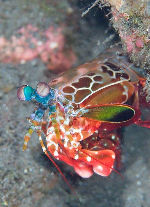 Peacock Mantis Shrimp Beautiful Fish Underwater World Mandarin Fish