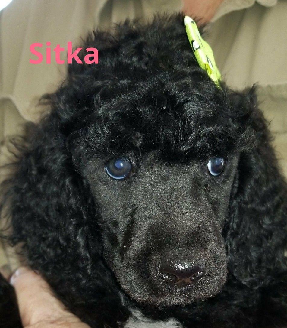 Sitka 7 Week Old Standard Poodle Poodle Pensacola Fl Animals