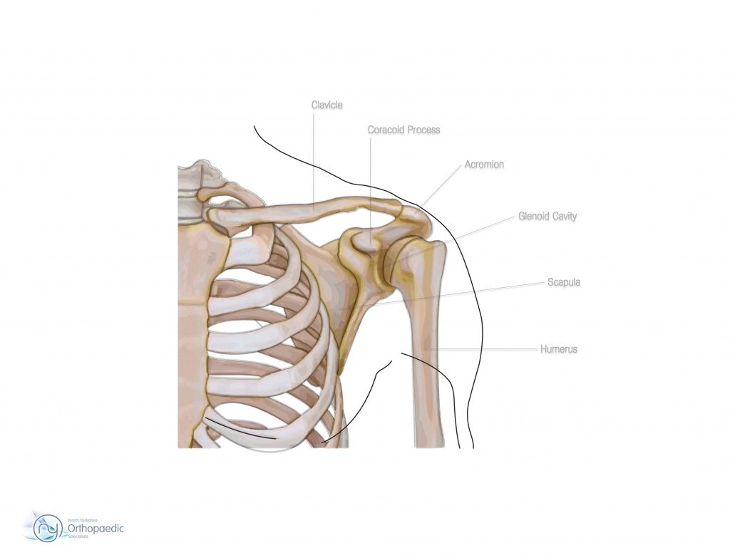 Shoulder Anatomy Bones Shoulder Bone Anatomy Human Anatomy Diagram ...
