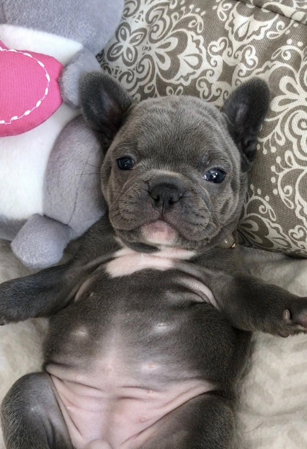 Awesome French Bulldogs Information Is Offered On Our Web Pages Have A Look And You Will Not Be Sorry Yo Perros Bulldog Gatos Y Perros Lindos Perros Y Bebes
