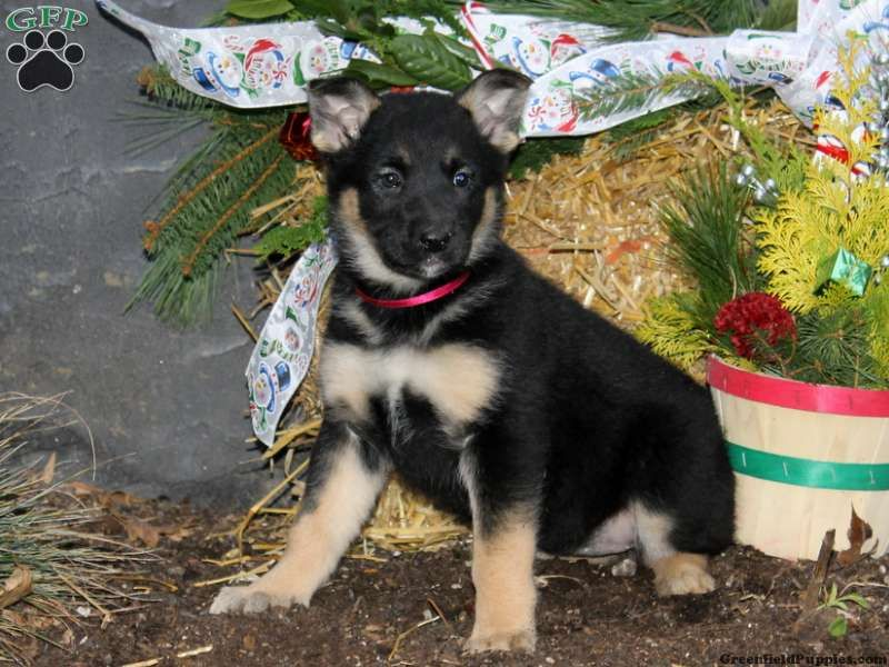 Bena German Shepherd Mix Puppy For Sale In Lincoln University Pa