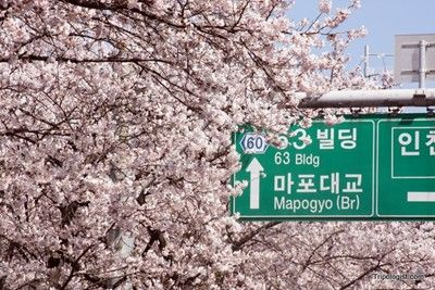 Attend The Cherry Blossom Festival In Yeouido S Cherry Blossom Park In Seoul South Korea Cherry Blossom Festival Flower Festival Seoul