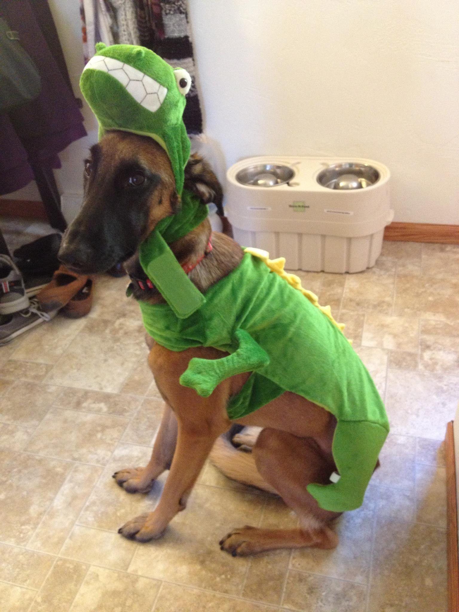 My Belgian Malinois Greyhound Mix In His Halloween Costume 1 Year Old Belgian Malinois Malinois Halloween Costume 1 Year Old