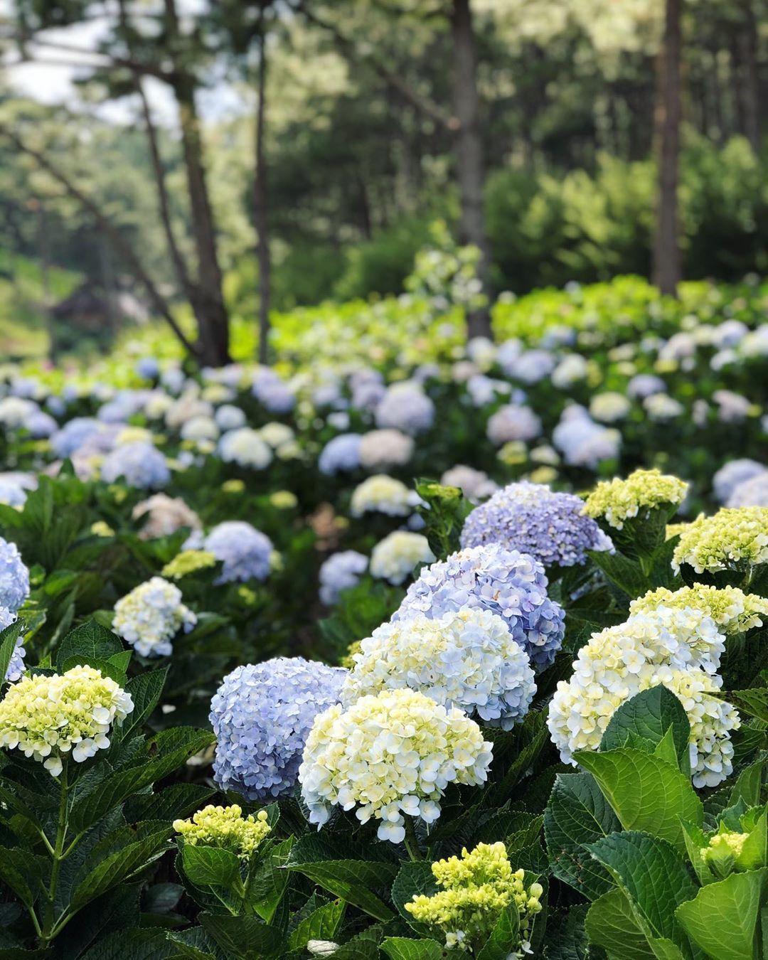 Hydrangea Garden In Dalat Vietnam Dalat Garden Hydrangea Vietnam In 2020 Hydrangea Garden Hydrangea Outdoor Gardens