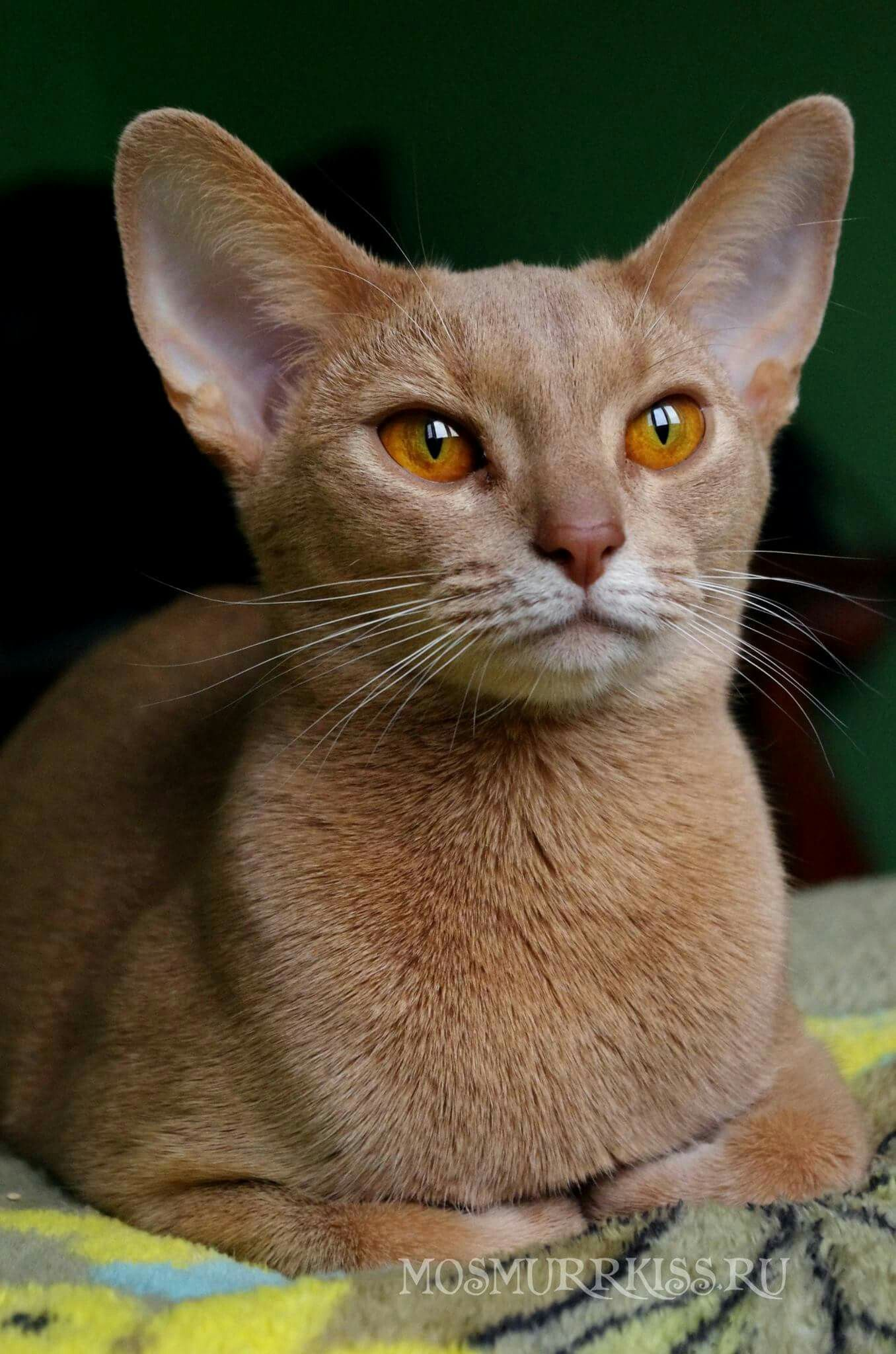 Fawn Abyssinian Catsbreedsthatdontshed Abyssinian Cats Cats And Kittens Cute Cats And Kittens
