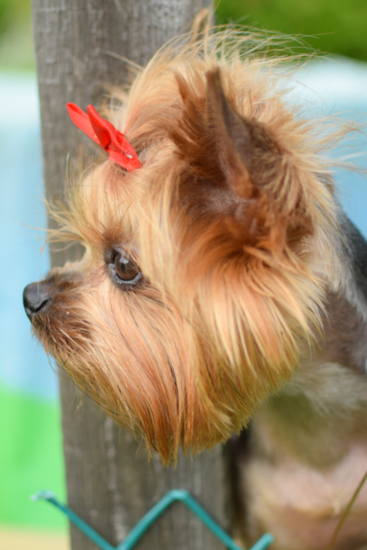 Portrait Of A Dog A Dog In The Summer At The Cottage Looks Through A Wooden Fence The Dog Is Waiti Yorkshire Terrier Puppies Yorkshire Terrier Terrier Breeds