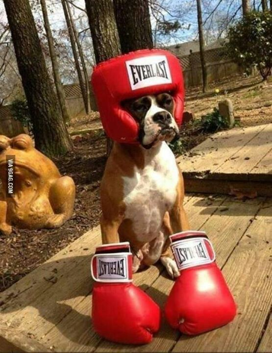 Boxer Dressed Up As A Boxer For Halloween Boxer Boxerdog