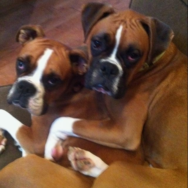 Our Boxers Are Do Devoted To One Another Snuggles Boxer Puppies Boxer Dogs Boxer Love