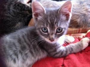 Adopt Blue On Petfinder Grey And White Kitten Grey Kitten Grey And White Cat