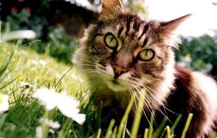 Natural Cat Repellent Tips Pets Pinterest Cat