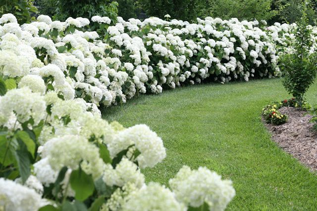 Through The Greenhouse Glass Hydrangea Varieties Hydrangea Season Hydrangea Landscaping