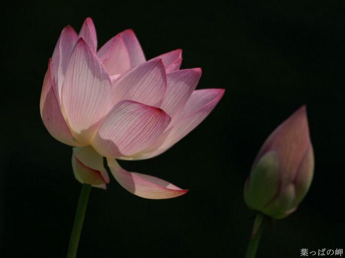 Nature Flowering Hd Flower Photography Vol 03 Lotus Flower
