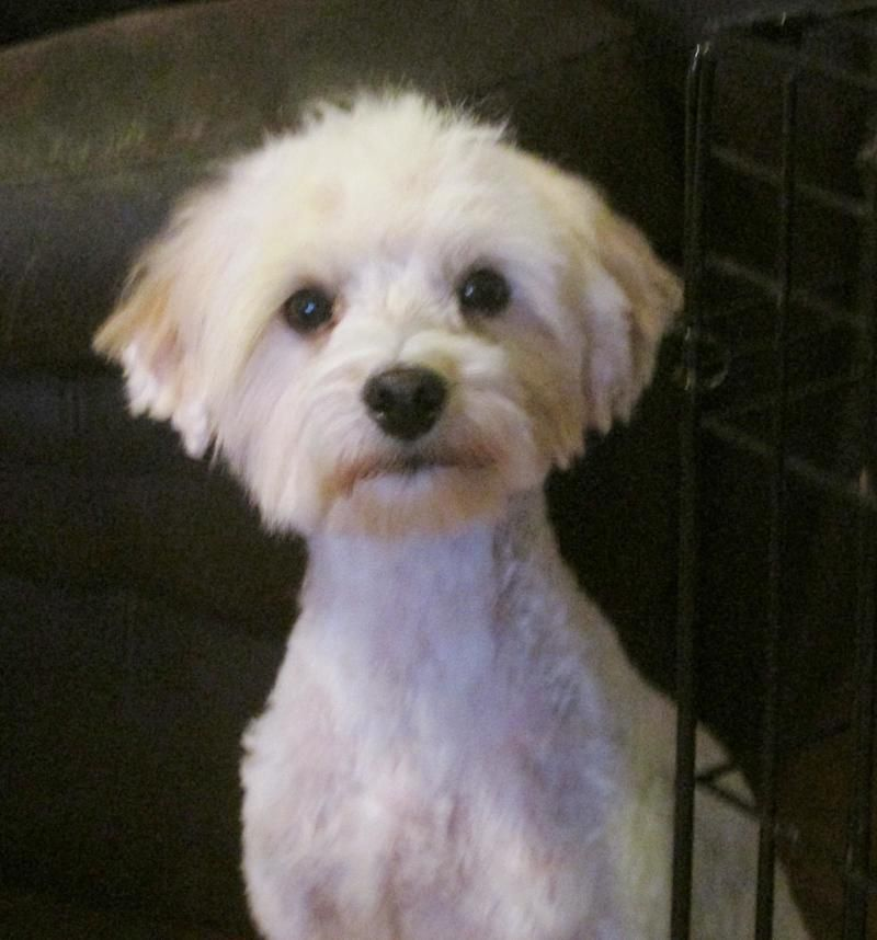Adopt Georgie Girl On Petfinder Poodle Mix Dogs Kitten Adoption Poodle Mix