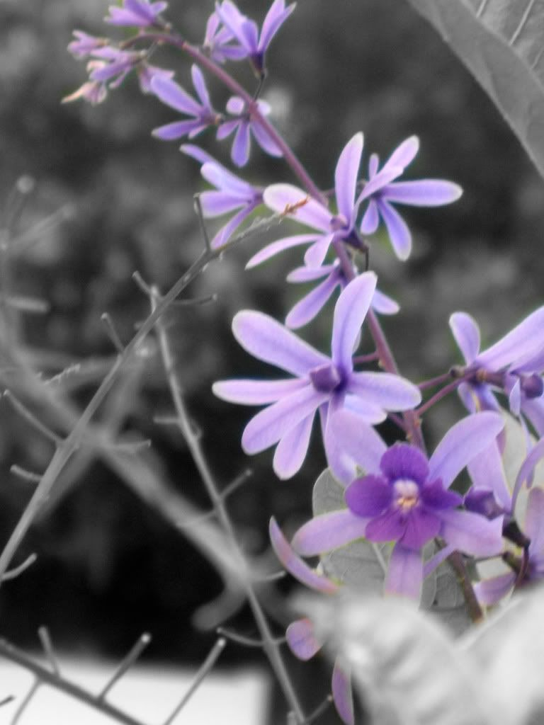 Color splash touch of purple flowers black and white photography