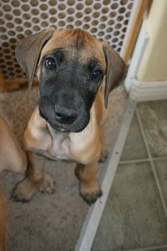Litter Of 9 Great Dane Puppies For Sale In Lehi Ut Adn 55853 On