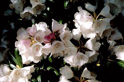 Rhs Plant Selector Rhododendron Yakushimanum Koichiro Wada Agm Gardening Small Domed Likes