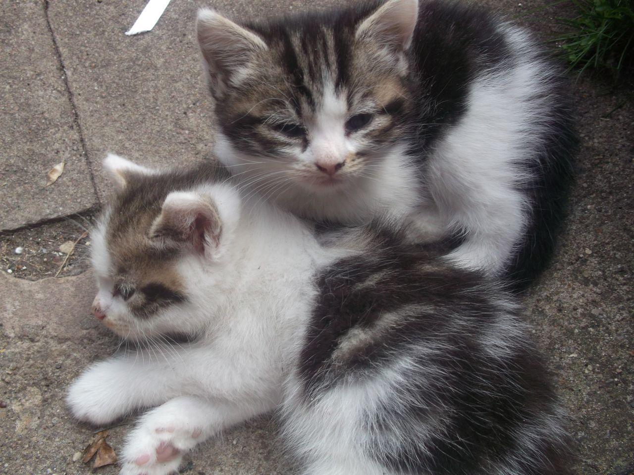 3 lovely white and tabby kittens for sale