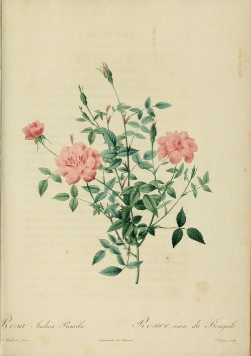 Rosa Indica Pumila (Dwarf Bengal Rose). From 'Les Roses' (1817–1824) by P.J. Redouté (1759-1840). California State Library. archive.org
