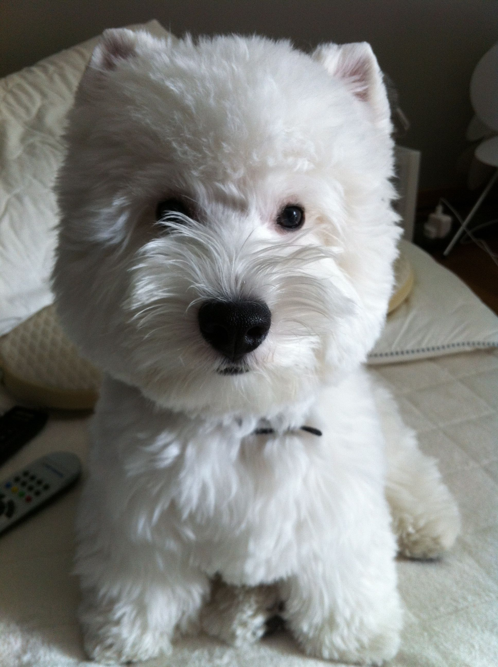 West Highland Terrier To View More Tips About Pet Dogs Visit The Image Link Westie Dogs Westie Puppies Cute Dogs