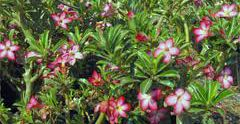 Especie de arbusto perteneciente a la familia Apocynaceae. Es también conocida como Sabi Star, Kudu o Desert-rose. Es nativa del este y sur tropical y subtropical de África y Arabia.    Es un arbusto perenne suculento que alcanza 1-3 metros de altura. . Las flores son tubulares de 2-5 centímetros de longitud con cinco pétalos de 4-6 centímetros de diámetro, semejante a los géneros Plumeria y Nerium.