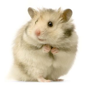 Pet Hamster Care, Information, Facts & Pictures