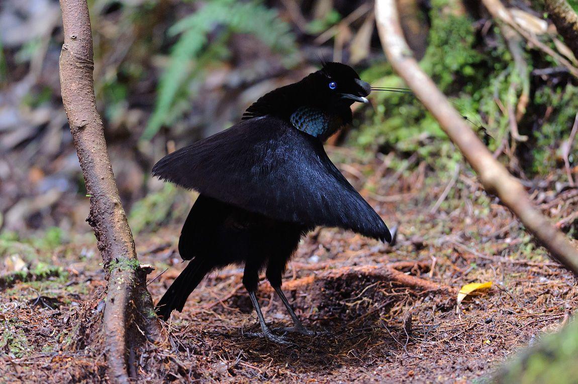 pimpandhost paradisebirds(a The Acacia Strain – Birds of Paradise, Birds of Prey ...