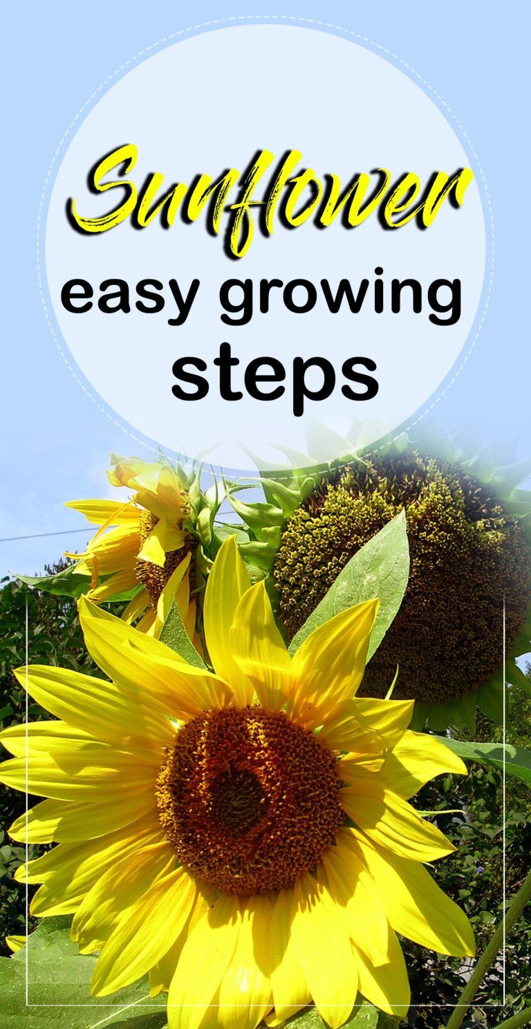 How To Grow Sunflowers Growing Sunflowers From Seeds Sunflower Care Naturebring Planting Sunflower Seeds Growing Sunflowers Planting Sunflowers