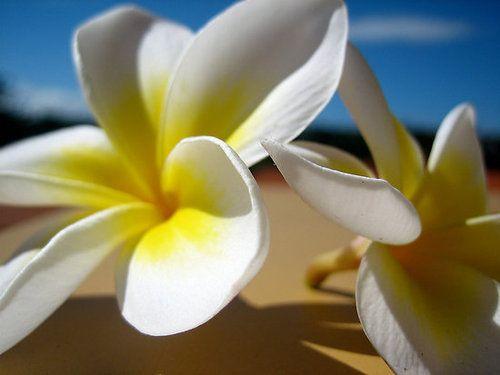 Plumeria on the beach...