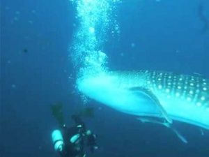 Gallery Unbelievable…. Whale Shark Chases Diver [Video] is free HD wallpaper.