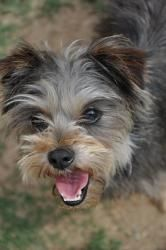 Adopt Candi On Yorkie Puppy Yorkie Dogs Yorkie
