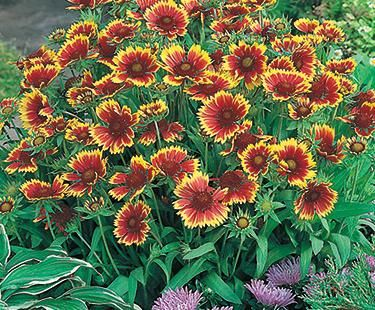 Blanket flower perennial image collections flower decoration ideas astilbe for sale perennials buy astilbe perennials at eden astilbe for sale perennials buy astilbe perennials mightylinksfo