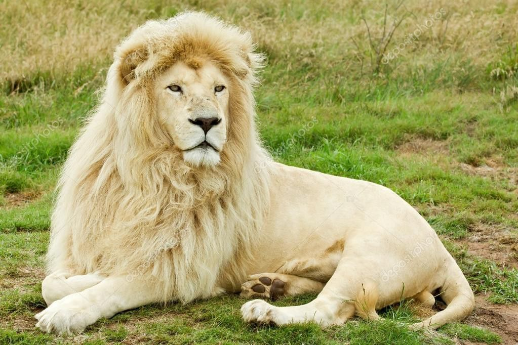 Pin By The Fulcrum On Animals White Lion Lion Beautiful Lion
