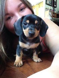 Miniature Dachshund Puppy Puppies Cute Animals Cute Dogs