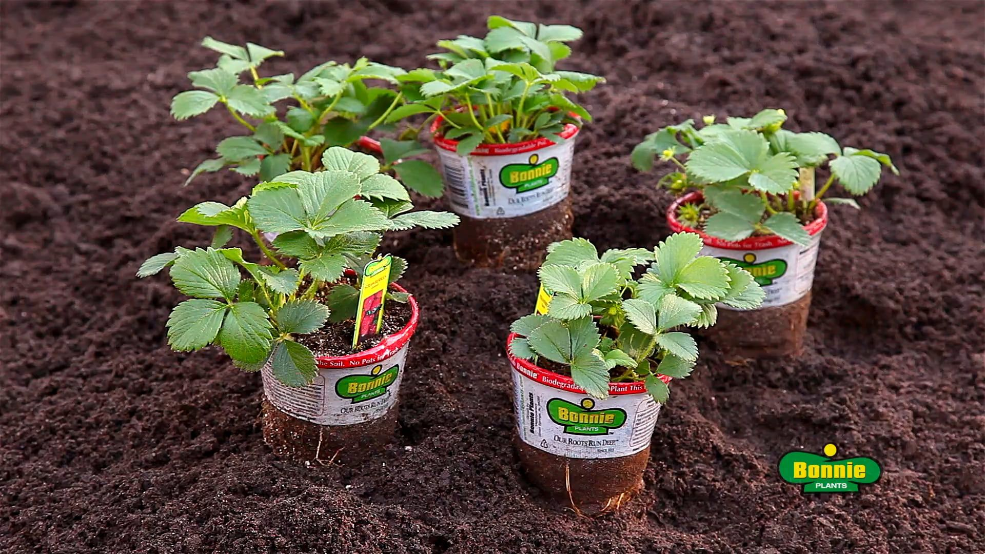 Learn several ways to plant strawberries 73