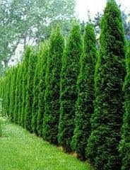 Skyrocket Juniper (Juniperus scopulorum 'Skyrocket')
