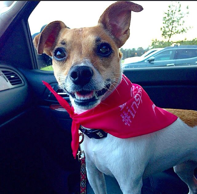 Penny Rat Terrier Leaving Petsmart With A New Bandana Inspiredbypets Rat Terriers Terrier Boston Terrier