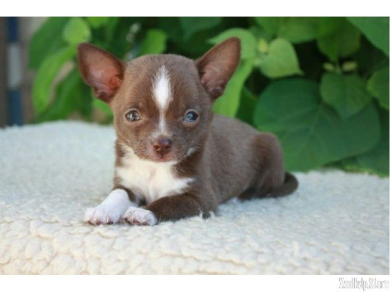 Chihuahua Puppies Southern Marylan Chihuahua Puppies Southern