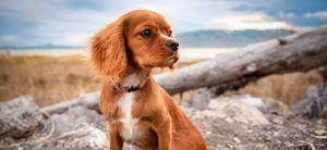 Vous Songez A Adopter Un Petit Ami Voila Pourquoi Ne Pas Aller Le Chercher Dans Une Animalerie Pet Dogs Cocker Spaniel Dog Dogs