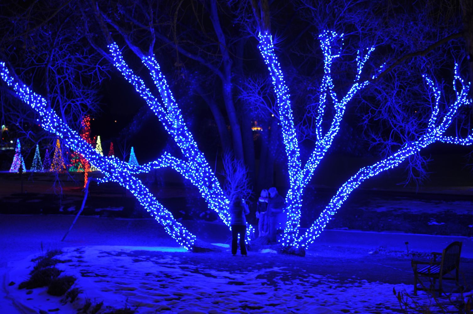 Beautiful Tree Lit Up With Christmas Lights At Hudson Gardens In