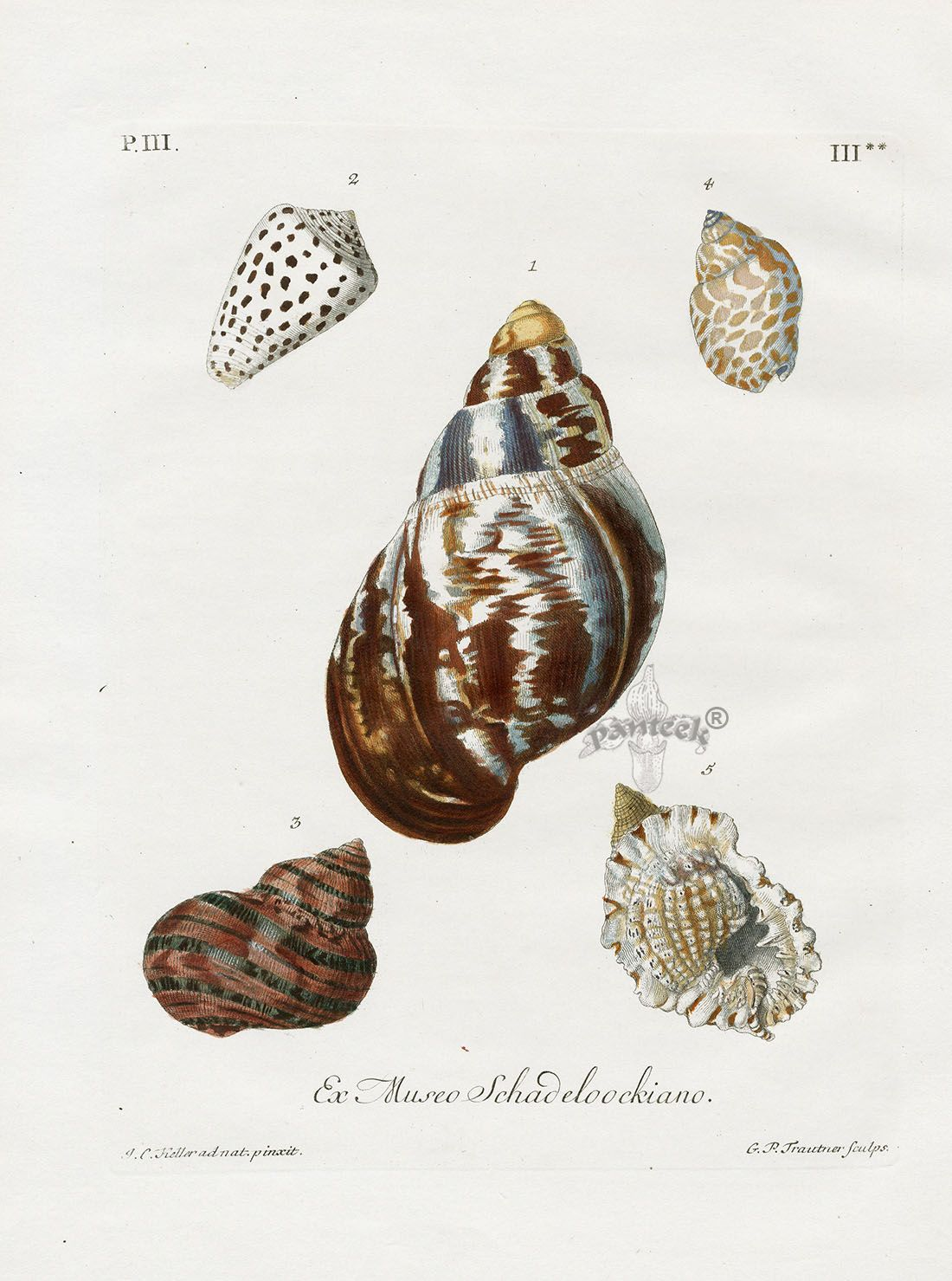 Georg Wolfgang Knorr Original Antique Shell Prints 1757 Wall Art