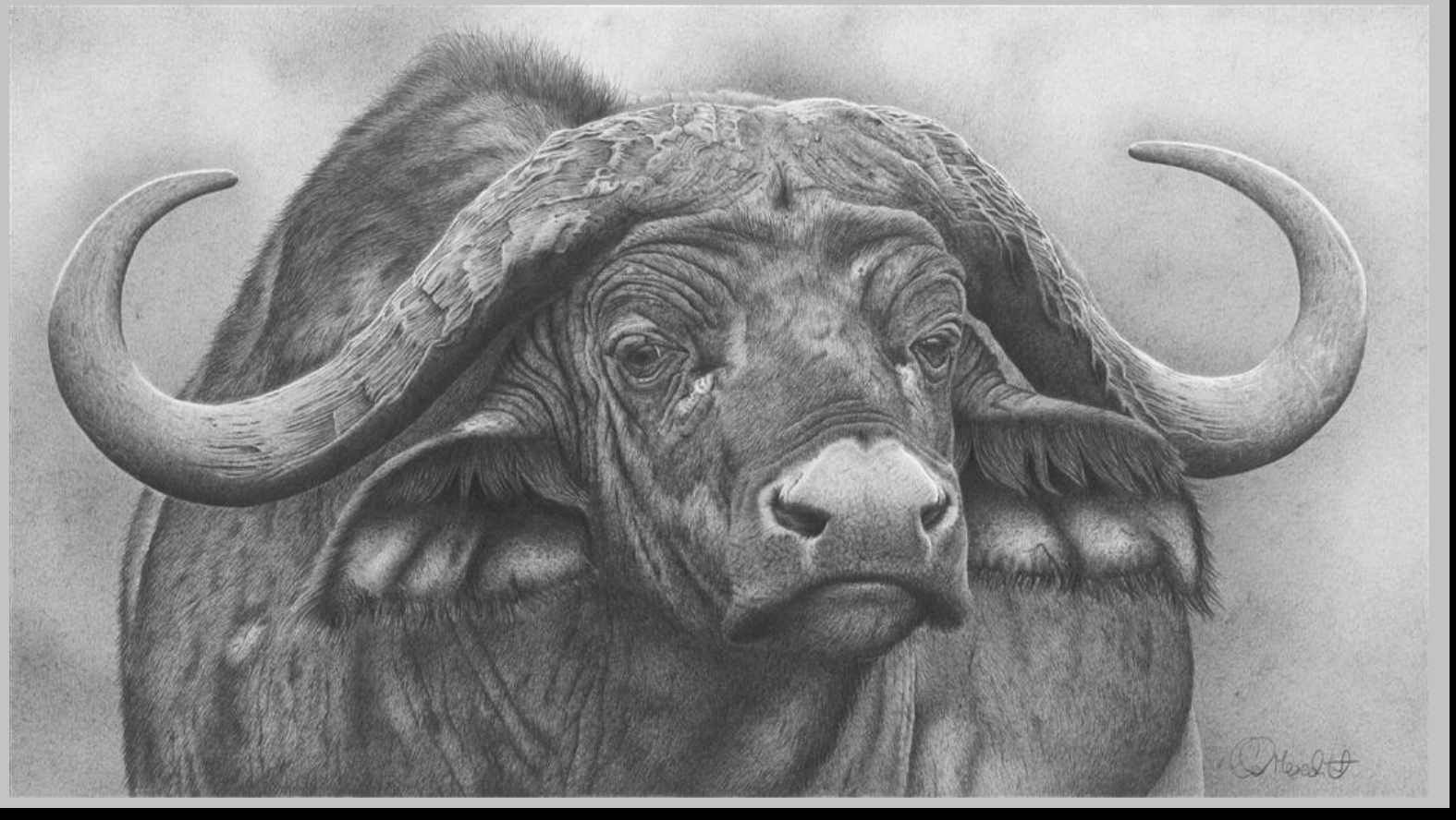 9eafd8eb1 African Buffalo · Water Buffalo · Watercolor Animals · Realistic Animal  Drawings, Pencil Drawings, Art Drawings, Pens And Pencils, Pet Birds